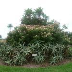 Bilde fra The Royal Botanic Garden