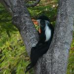 Colobus in the Flamboyant tree