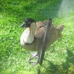 State bird - Nene