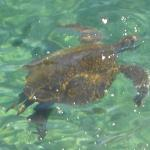 Turtle in the lagoon
