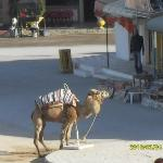 Lonely camel looking for passengers
