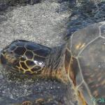 """My favorite turtle at """"our beach"""", Number 8"""