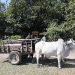 The ox cart used to take guests from the river to Tiger Tops Tharu Lodge in Chitwan National Par