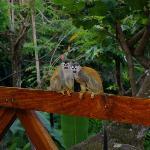 Squirrel Monkeys on the deck at Villa Mot Mot