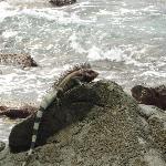 iguanas at beach