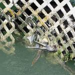 Pelicans stuck in lattice area around tarpons