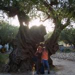 Oldest Olive tree in Exo Horo