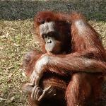 orangatan and baby