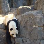 Dad panda
