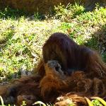 The oranguans picking his nose - my boys loved