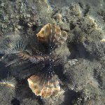 Lionfish in the shallows