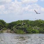 Frigate bird sanctuary - Barbuda