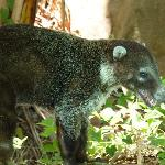 The tame coati