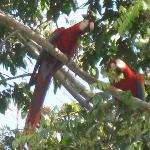 Macaws outside our room.