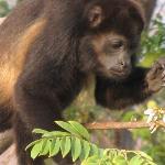 howler monkeys outside the Riu