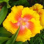 beautiful Hibiscus at Hale Mahina