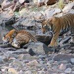tiger cubs - Ranthambore