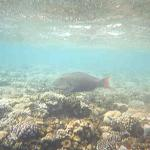 snorkling photo,parrot fish I think
