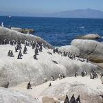 Here comes the South African Penguins..... on Foxy Beach.