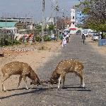 Deer in the streets of Trincomalee