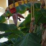 Hummingbird on a banana palm in hotel garden