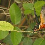 Pygmy Kingfisher screaming