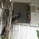 Peacocks roamed the resort