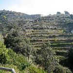 Terraced rows of grape vines
