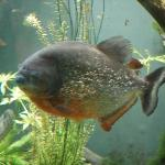 Piranha in the Biodome (indoor zoo)
