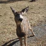 Super friendly deer