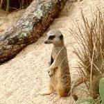 Meerkat!!!