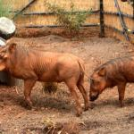 Really ugly warthogs. lol