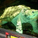 """The Alligator Snapping Turtle  """"The largest freshwater turtle in North America."""""""