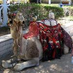 Kamel(Dromedar)-ridning på hotellstranden