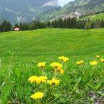 瑞士5月間, 遍地黃花, 美不勝收. 這些黃花, 學名是Taraxacum officinale, 在4~7月間散佈在600~2500m的山野間.