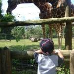 Cameron watching a giraffe being fed at the Knoxville Zoo.