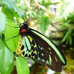 Male Cairns Birdwing at Coffs Butterfly House