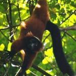 A Playful Red Ruffed Lemur in Masoala forest--critically endangered spieces
