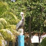 Pelican in Josone Park