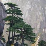 Greeting Pine (Ying Ke Song) Photo