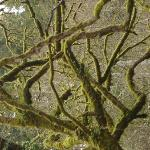 Beautiful mossy tree just outside the inn.