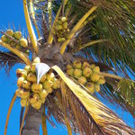 fresh coconuts for the drinks