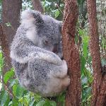Koalas sleep 19 hrs/day