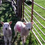 tiny lambs in spring
