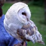 true star Crystal the barn owl