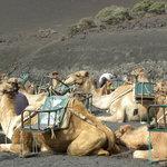 Cammelli sul Timanfaya