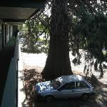 The giant cedar tree in the main parking area.