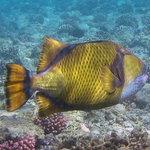 pesce da cui fare attenzione Balestra Titano