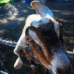 Happy goats!