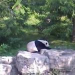 Panda en el Washington zoo.